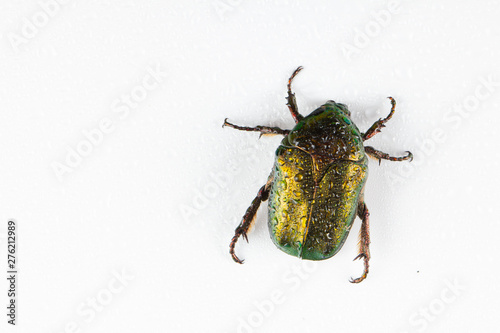 Valokuva Rose chafer Cetonia aurata on white background