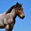 Dutch Draft horse