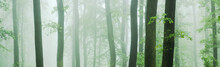 Panorama Of Beech And Oak Forest In Thick Fog
