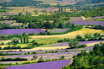 Panel Szklany Lawenda Blooming lavender fields near Valensole in Provence, France.
