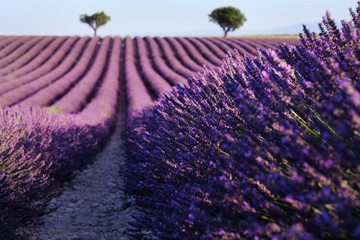 Panel Szklany Lawenda Lavender field in Provence, France. Blooming Violet fragrant lavender flowers.