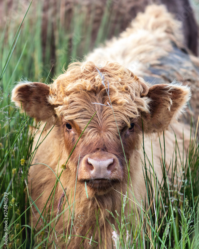 Poster de jardin Vache Scottish Highland cow