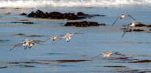 A Flock Of Western Snowy Plovers (Charadrius Nivosus) Fly Along The Shore Of The Monterey Bay In Central California In Pacific Grove, Not Far From Carmel And Big Sur Off Highway 1.