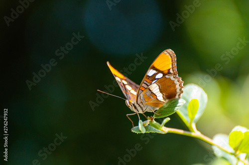 Close up of beautiful California Sister butterfly perched on the edge of a leafy stem.