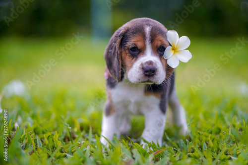 A cute beagle puppy with a white plumeria flower attaching on ear, standing on the grass field on sunny day Canvas Print