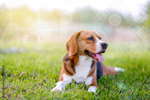 An adorable beagle dog sitting in the grass field. Canvas Print