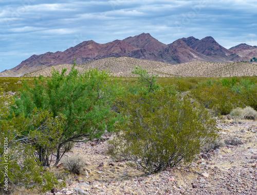 USA, Nevada, Clark COunty, El Dorado Valley: Screwbean mesquite trees (Acacia gr Fototapeta