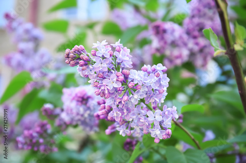 Fotografie, Obraz Blossoming lilac outdoors on spring day