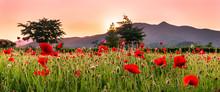 Landscape View Of A Field Of Poppy Flowers At Sunset, NamYangJu Korea.