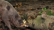 Babirusa Trying To Move A Tree Trunk