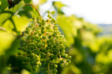 Green Unripe Green Wine Grapes Cluster In Vineyard, Winegrowing, Soft Selective Focus