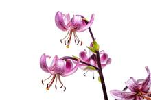 Flower Of Martagon White Backg...