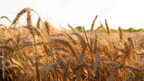 Valokuva  wheat field