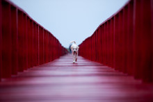 Homeless Dog Walking On Red Wooden Bridge