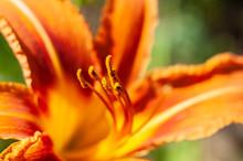 Macro Closeup Of Stamens Of Fi...