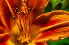 Macro Closeup Of Stamens Of Fire Red Or Orange Day Lily Colorful Background