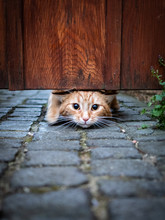 A Cute Young Cat Squeezing Und...