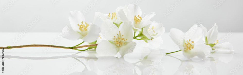 Fototapety, obrazy: panoramic shot of jasmine flowers on white surface