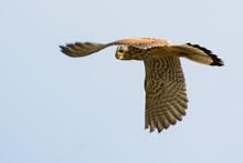Common Kestrel In The Sky