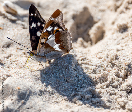 Closeup of a Butterfly on a Sandy Beach on the Baltic Sea