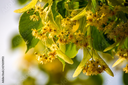 Poster Pierre, Sable lime-tree blossom in summer