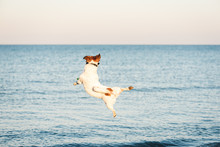 Nimble Dog Jumps High To Catch...