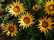 Yellow Gazanias (Gazania Rigens)