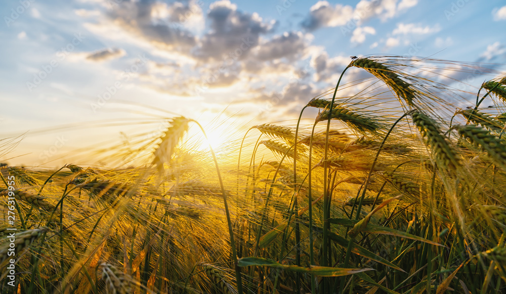 Fototapety, obrazy: Gold Wheat flied panorama with tree at sunset