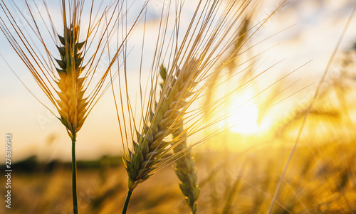Foto auf Leinwand Bekannte Orte in Asien Wheat flied at sunset with clouds. agriculture concept image
