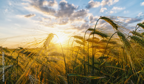 Fotografía  Gold Wheat flied panorama with tree at sunset