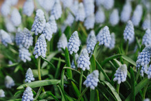 Muscari -  Light Blue Grape Hyacinth In Spirng Garden