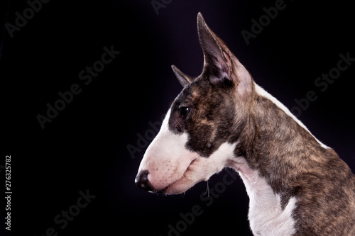 Photo Dog breed mini bull terrier portrait on a black background in profile