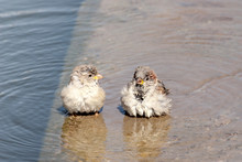 Two Sparrows Bathe In A Puddle...