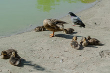 Duck Family Resting On The Shore