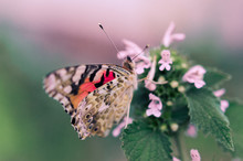 Flower Of The Meadow And Butterfly In Summer In Nature Macro. Beautiful Summer Meadow, Inspiration Nature. A Painted Lady Butterfly Drinking Nectar From Pink Flower. Butterfly On The Flower Close-up