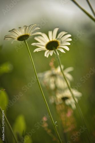 Fototapety, obrazy: flowers