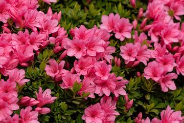 Cvijet ružičaste azaleje, u punom cvatu, rododendron