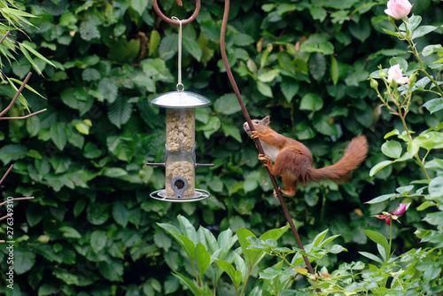 Squirrel Longing for Nuts Fototapet