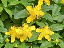 Hypericum Calycinum A Low-growing Flowering Shrub. Common Names Include Rose-of-Sharon, Aaron's Beard, Great St-John's Wort, Creeping St. John's Wort And Jerusalem Star.