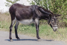 Gray Mule Goes In The Field At...