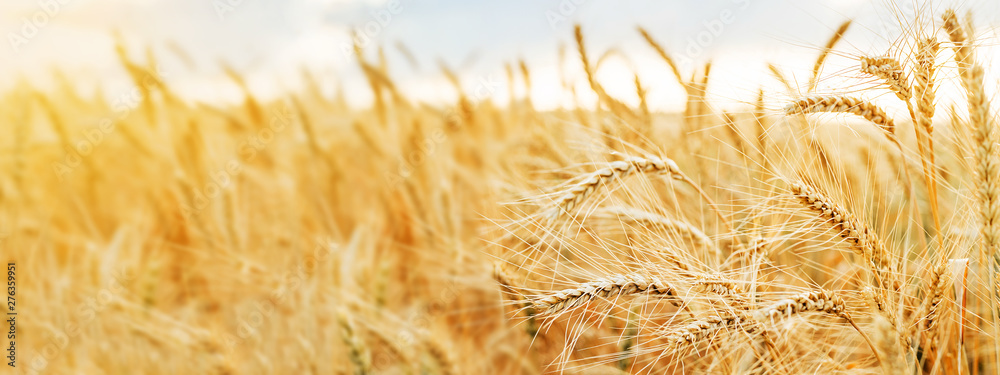Fototapety, obrazy: Wheat field. Ears of golden wheat close up. Beautiful Nature Sunset Landscape. Rural Scenery under Shining Sunlight. Background of ripening ears of wheat field. Rich harvest Concept.