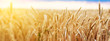 canvas print picture - Wheat field. Ears of golden wheat close up. Beautiful Nature Sunset Landscape. Rural Scenery under Shining Sunlight. Background of ripening ears of wheat field. Rich harvest Concept.