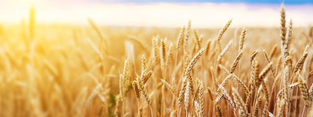 Wheat field. Ears of golden wheat close up. Beautiful Nature Sunset Landscape. Rural Scenery under Shining Sunlight. Background of ripening ears of wheat field. Rich harvest Concept.