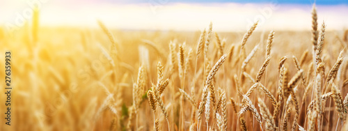 Fototapeta Wheat field. Ears of golden wheat close up. Beautiful Nature Sunset Landscape. Rural Scenery under Shining Sunlight. Background of ripening ears of wheat field. Rich harvest Concept. obraz