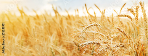 Carta da parati  Wheat field