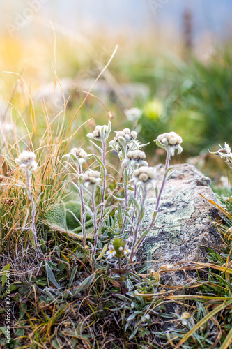 Poster Sheep Edelweiss in the mountains, alpine meadows in summer