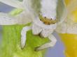 canvas print picture - Veränderliche Krabbenspinne; Misumena vatia: Detailaufnahme Augen und Kopf