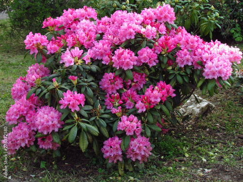 Poster Dahlia dark pink rhododendron, richly flowering shrub, popular garden bush with nice rich blossom