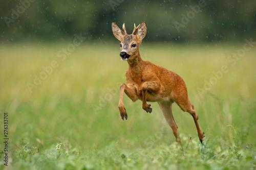 Keuken foto achterwand Hert Roe deer, capreolus capreolus, buck running fast across green field in light summer rain with water drops falling around. Wild deer sprinting in nature. Dynamic wildlife scenery.