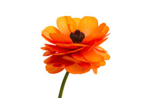 Buttercup Flower Isolated